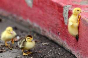 Divine guidance from a duckling